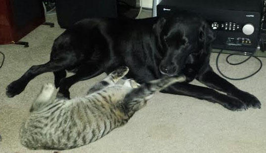 Gypsy the lab and Flynn the kitten