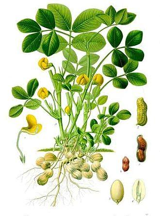 Franz Kohler's botanical drawing of the peanut plant (Arachis hypogaea)
