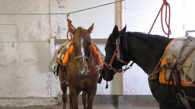 "Horses tied to a ""high line"" in the BOW Horse Packing Workshop."