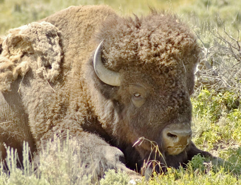Lawmakers in Helena are considering a bill that would give each Indian tribe in the state two free licenses per year to hunt buffalo.