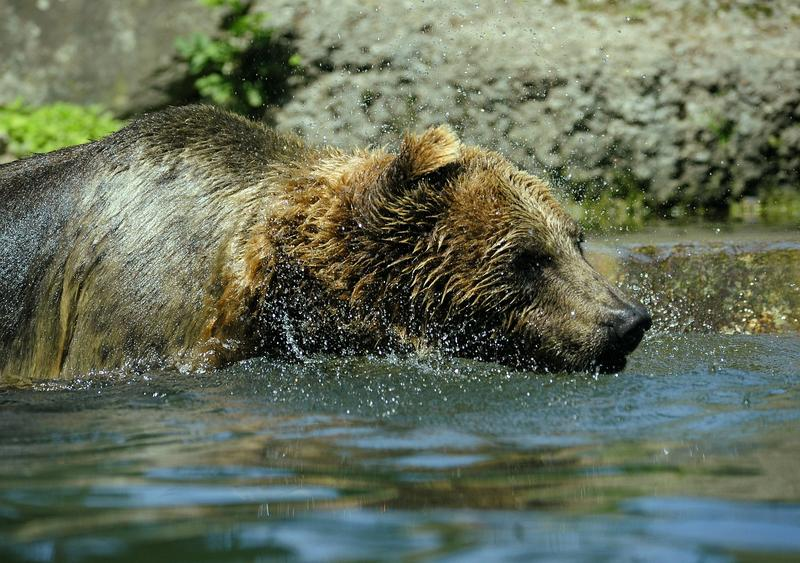 State and federal wildlife officials are investigating the shooting death of a male grizzly bear west of Whitefish.