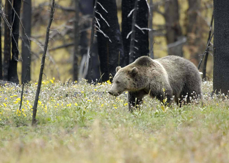 Grizzly bear in Yellowstone National Park. (File photo).