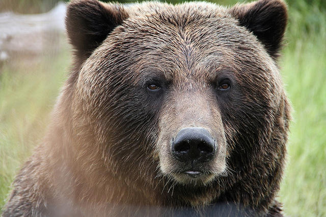Grizzly bear, file photo.
