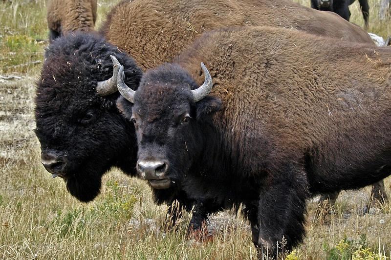 Several hundred bison will be transferred to tribal groups for slaughter this year.