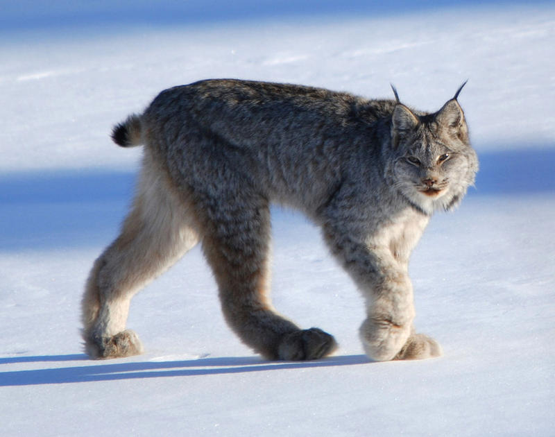 A federal judge in Montana ruled today that the U.S. Fish and Wildlife Service failed to consider including critical habitat areas in a plan to protect the endangered Canada lynx.