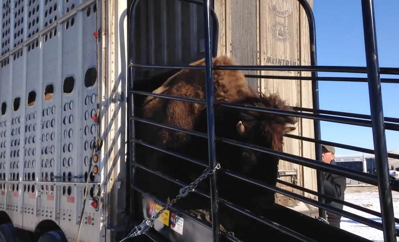 Bison being released at Fort Peck Reservation, November 2014.