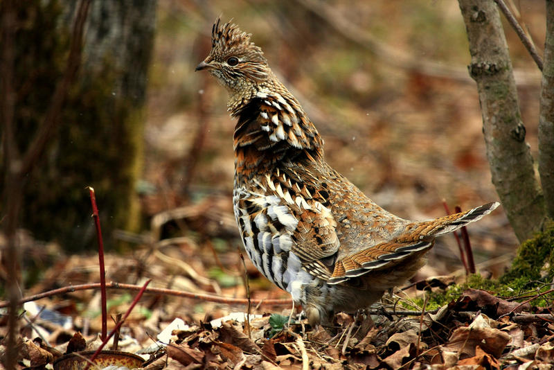 Ruffed grouse (Bonasa umbellus). (CC BY 2.0)