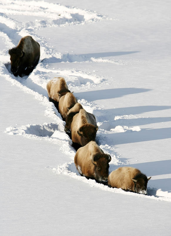 Yellowstone bison often leave the confines of the park in the winter for lower elevations in Montana.