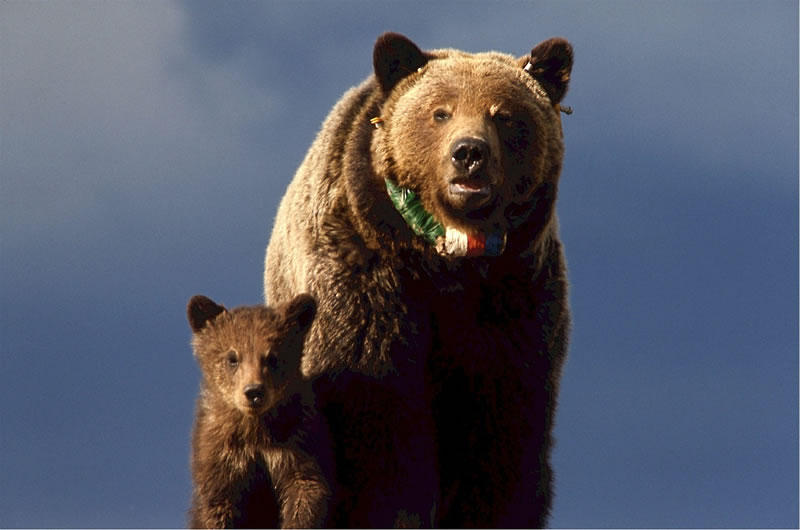 Grizzly Delisting Racks Up Thousands Of Public Comments
