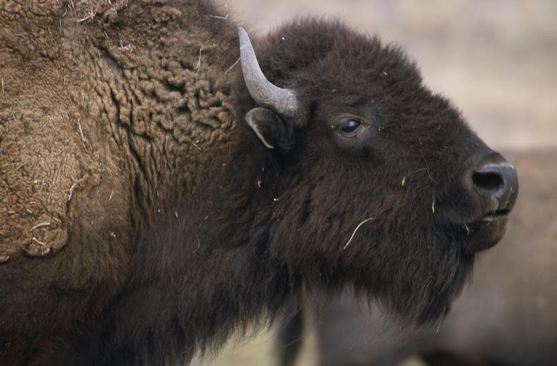 Many ranchers oppose more bison outside the park. They worry about the potential spread of the disease brucellosis.