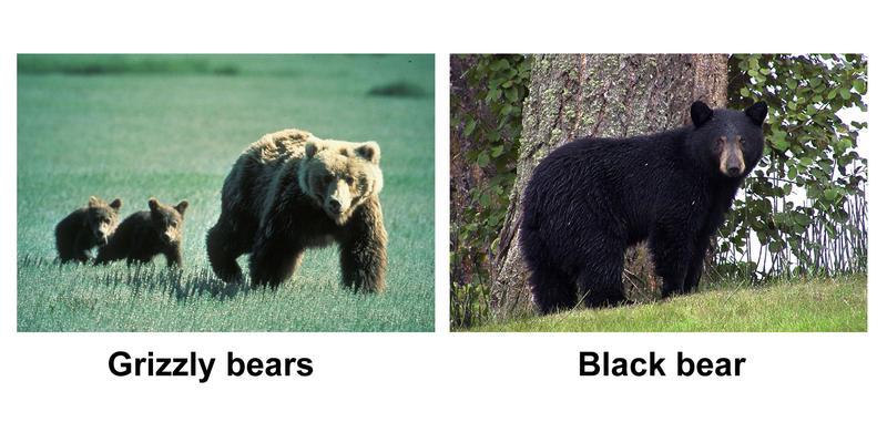 Grizzly bears vs. black bears.