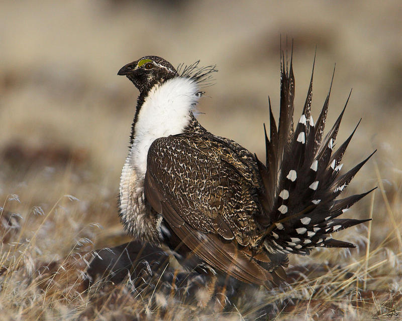 The Obama administration offered five possible plans Thursday for limiting mining on federal land in the West to protect the vulnerable greater sage grouse.