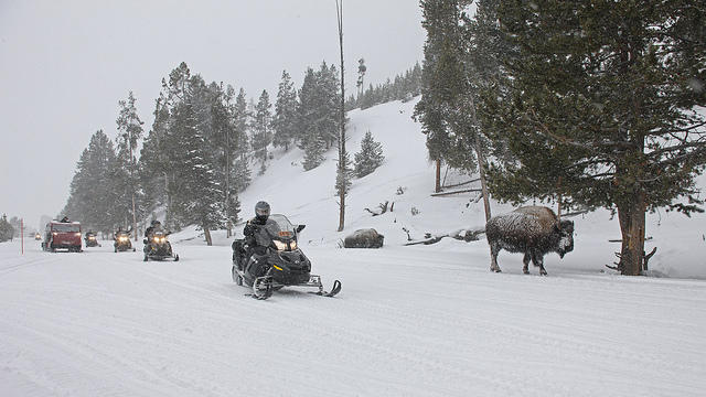 Snowmobiles ride past bison in Yellowstone National Park