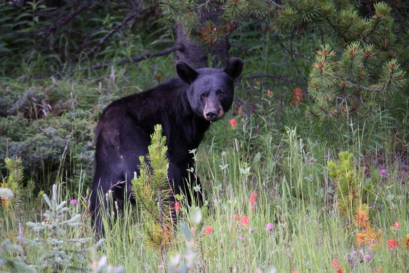 Black bear in Jasper National Park.