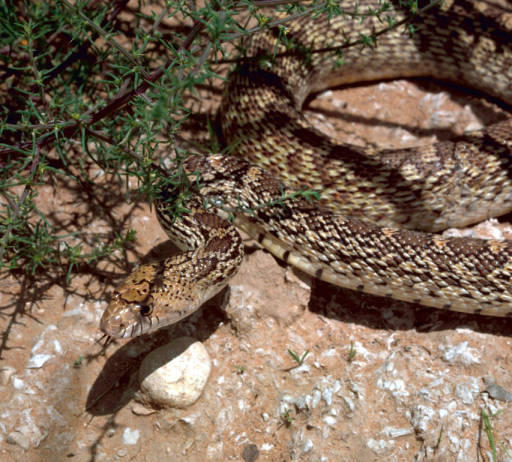 Gopher snake (Pituophis catenifer).