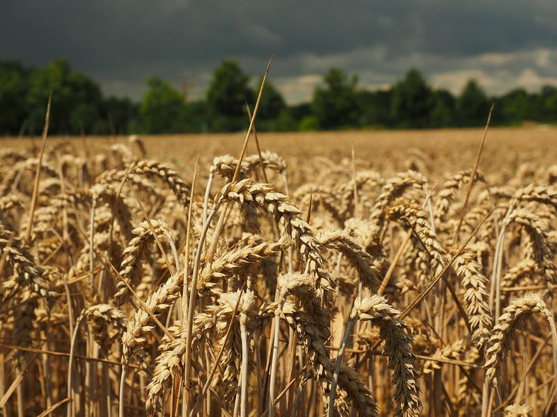 Wheat prices in Montana have declined by 38 percent since 2014.