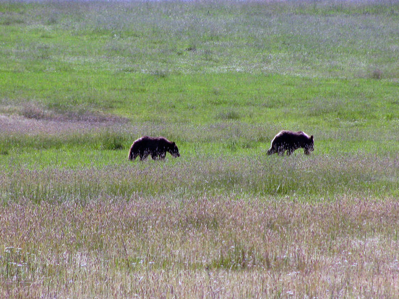Tribal wildlife biologists lethally removed these two female yearling grizzly bears from the St. Ignatius area after conflicts with livestock.