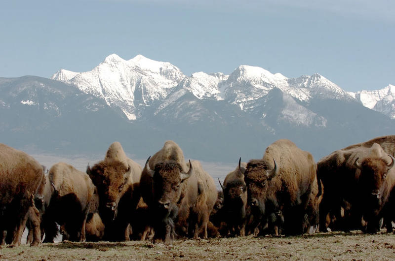 A bison herd at the National Bison Range in Montana.