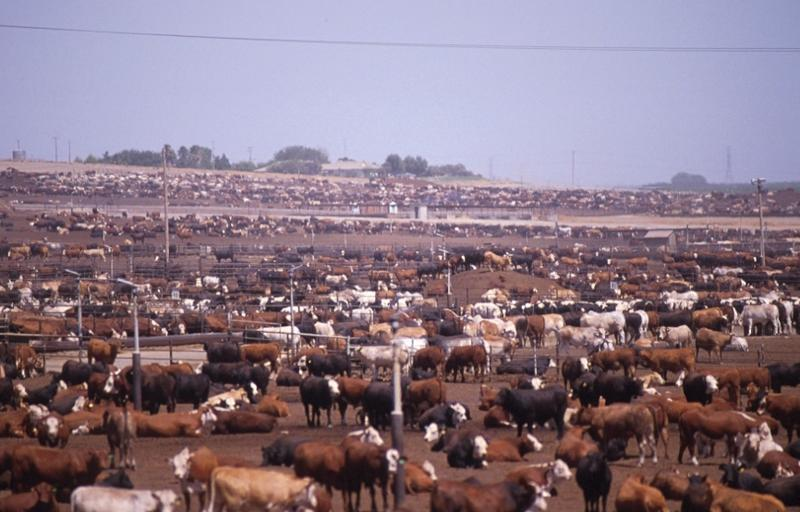 Beef cattle factory farm.