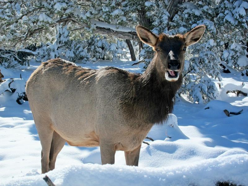 Montana FWP is seeking public comment on proposed guidelines for reducing elk populations.