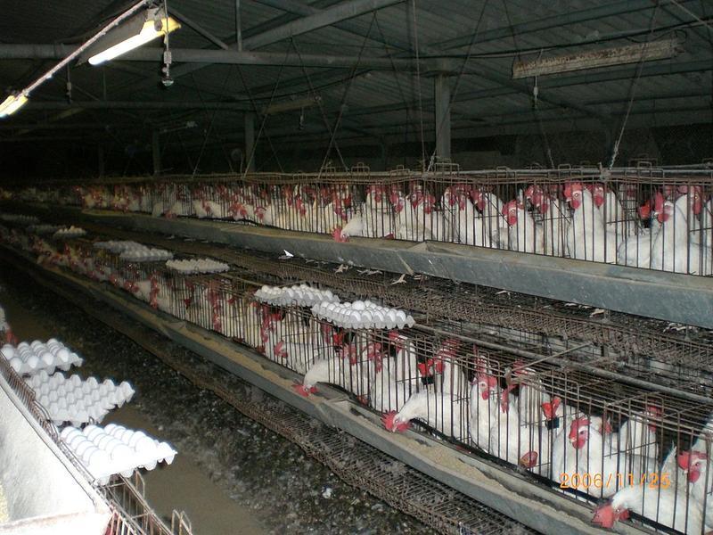 Industrial chicken coop.