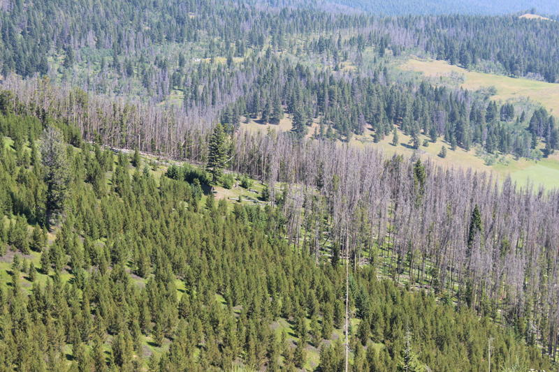 Live and beetle killed trees in the Helena National Forest.