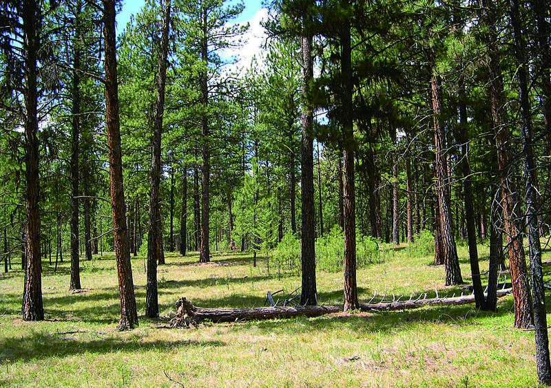 View of a treated ponderosa pine plot in 2009, twenty-five years after selection cutting and prescribed burning.