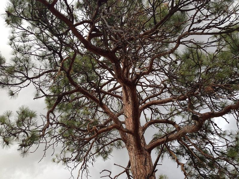 Large ponderosa pine tree.