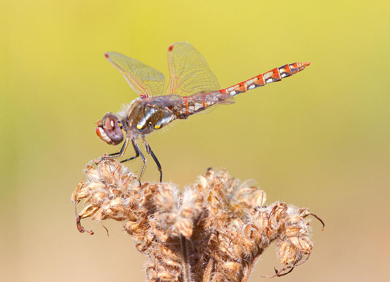 Variegated meadowhawks (Sympetrum corruptum) haven't previously been recorded migrating through Montana.