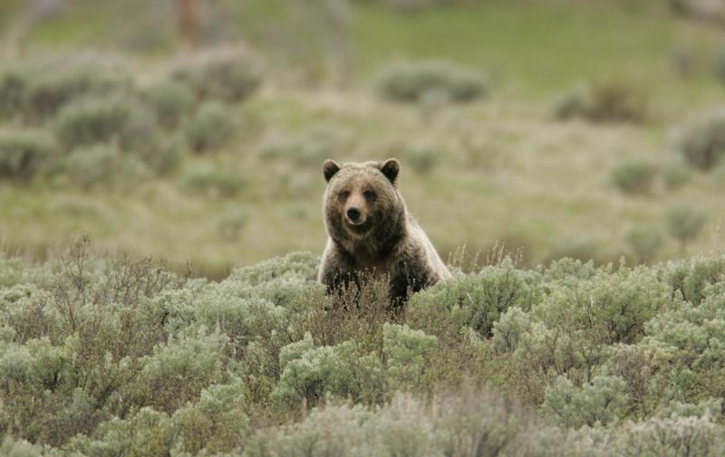 This Yellowstone National Park photo shows a grizzly bear on Swan Lake Flat