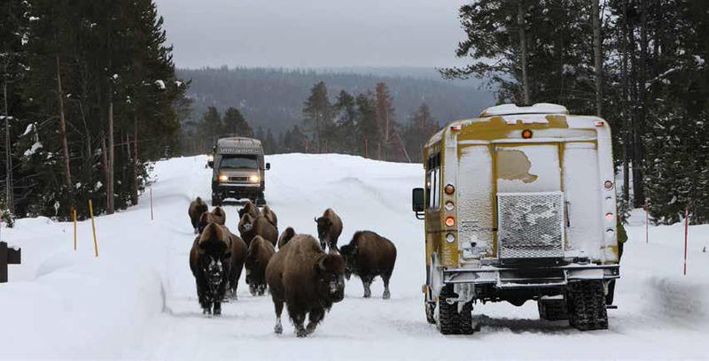 Bison and snowcoaches share the road in Yellowstone National Park.