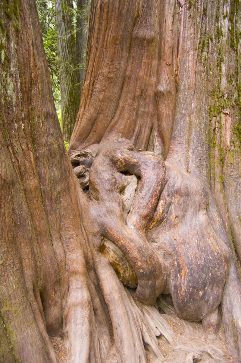 A person-sized knot between two massive Ross Creek Cedars