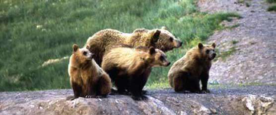 An undated photo of a grizzly bear sow and cubs provided by Yellowstone National Park