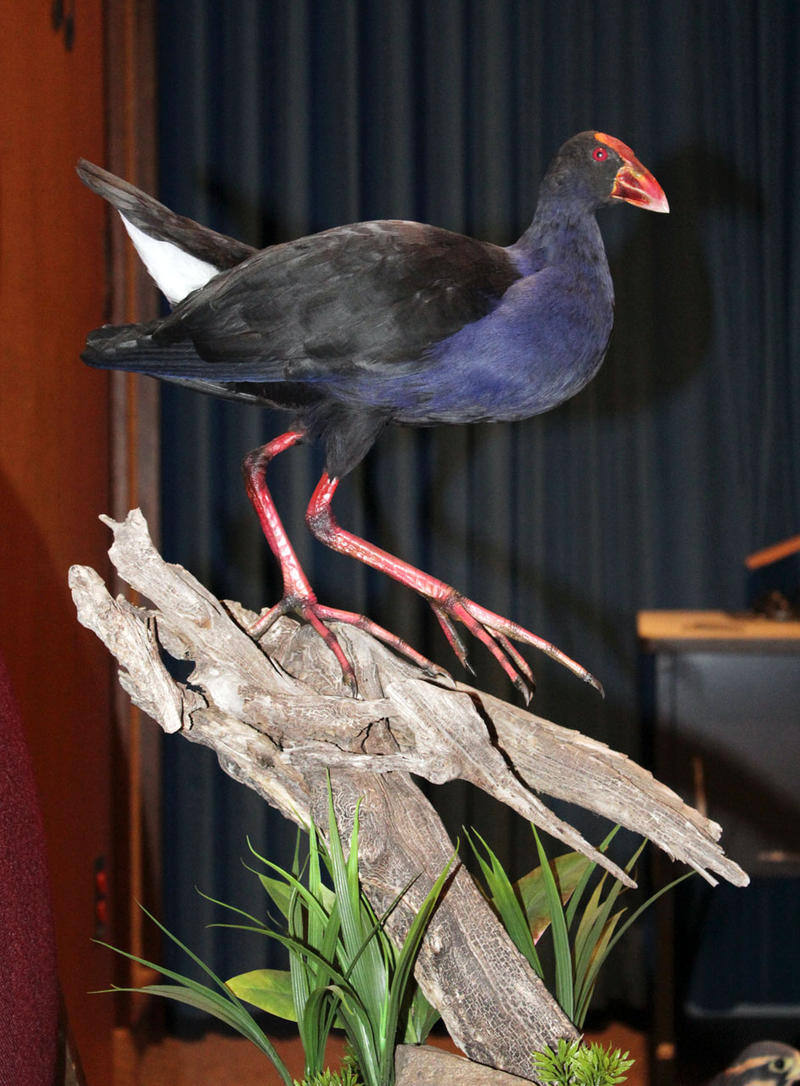 Owen Manning, one of our special guests today, won Best Youth Novice Entry in the World Taxidermy Competition with this Pukeko from New Zealand.