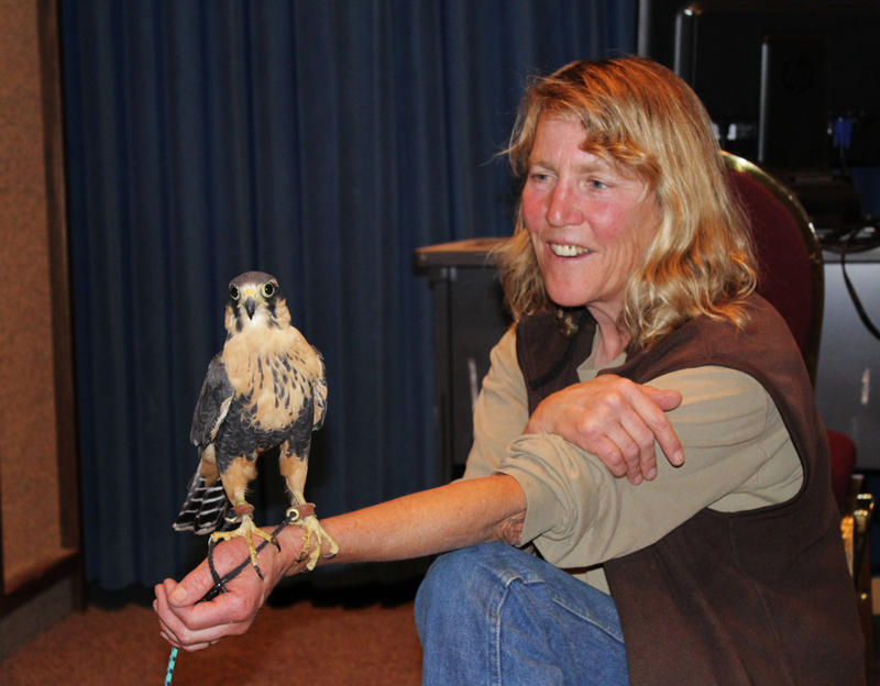 Kate Davis from Raptors of the Rockies with Sonora, an Aplomato falcon, today on