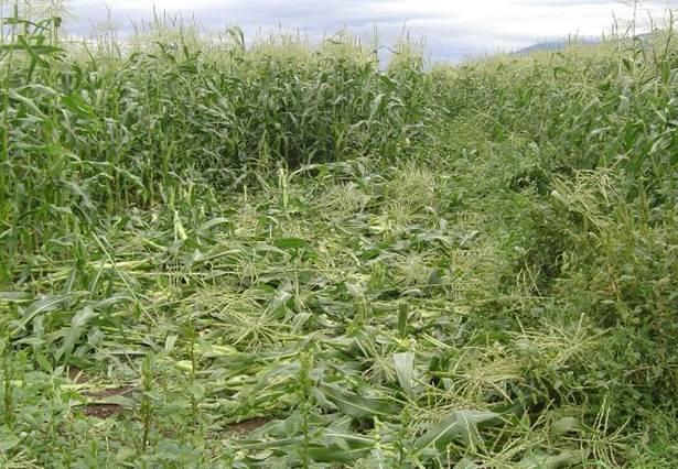 A corn field in the Mission Valley damaged by bears.