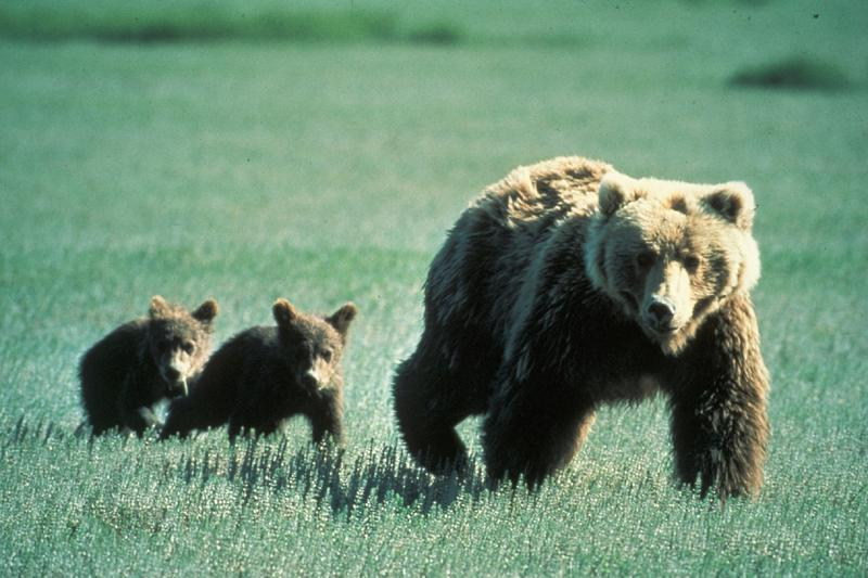 Tribal bear biologists were called on Monday, August 29 with a report that twin grizzly bear cubs were out during the day bawling for their mother. During the following week traps were set for the cubs.