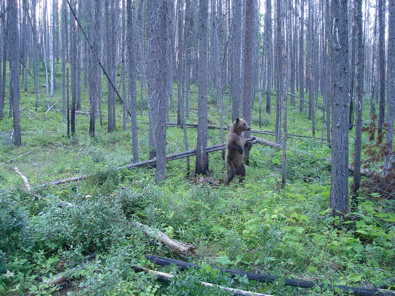 A grizzly bear visiting a wire hair snag station near Glacier National Park.