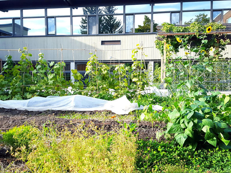 It doesn't get more local than this. A least some of the local food at UM comes from a garden behind the dining hall.