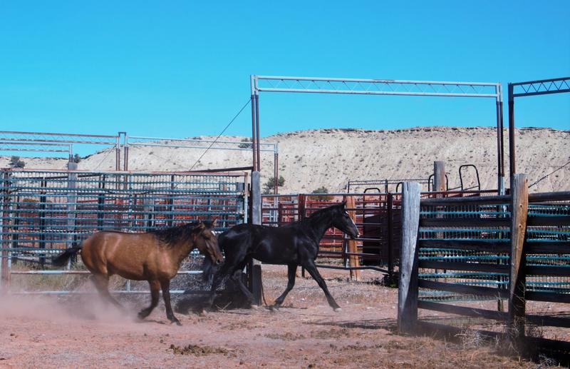 Wild horses at the Britton Springs holding facility near the Montana-Wyoming border just days before their new owners picked them up.