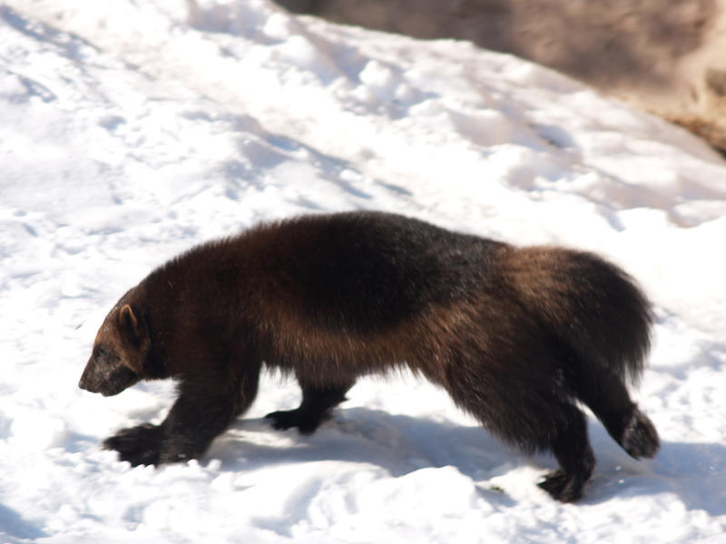 In Montana, wolverines reside mostly within the Crown of the Continent ecosystem.