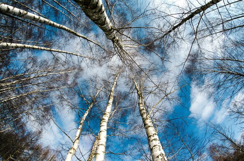 How tall can a tree grow?