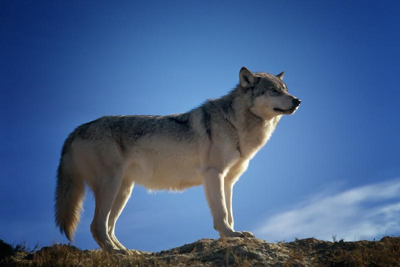 Conservation groups seek extension of wolf monitoring program