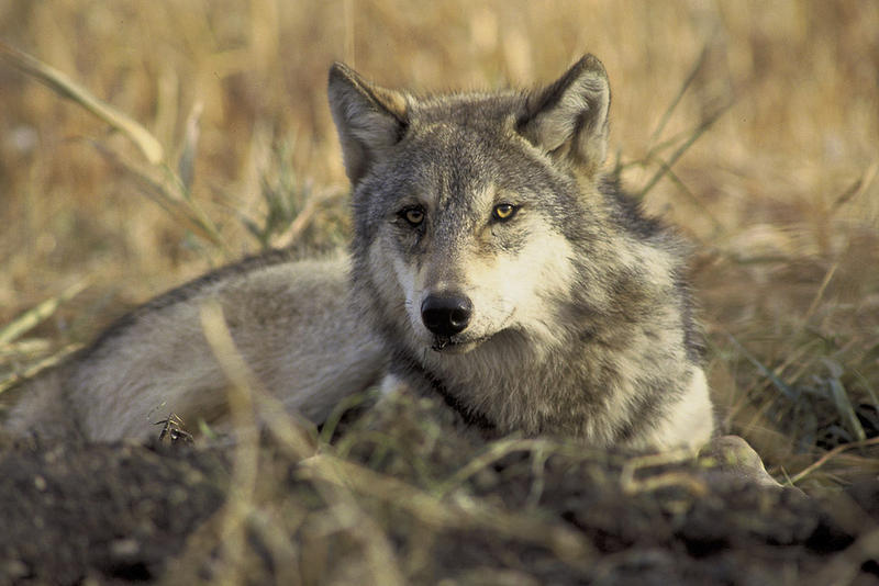 The new counting model uses hunter sightings to help map areas occupied by wolves
