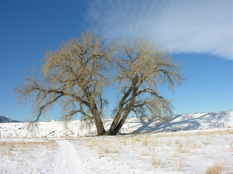 Cottonwoods, a member of the Salicaceae family, are a common sight across Montana.