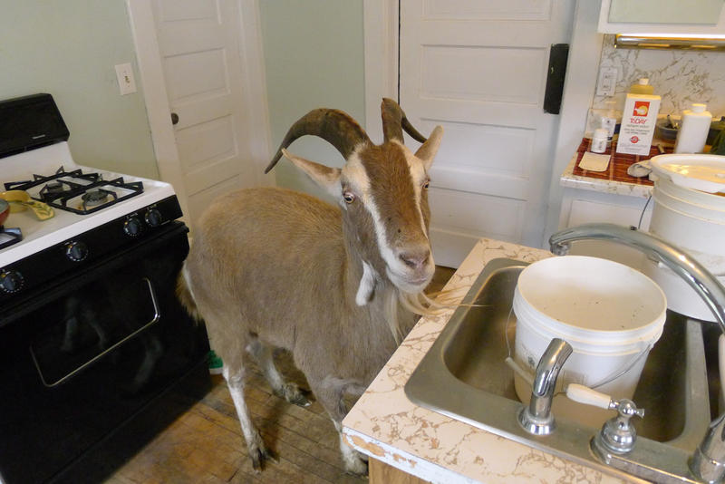 Bruce the goat demands equal time in Sam's kitchen.