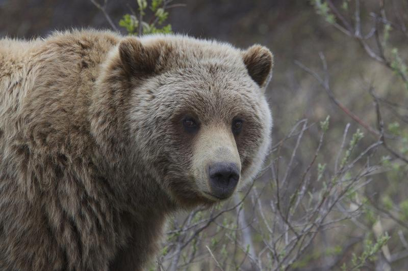 Wildlife officials have captured and relocated three grizzly bears along the Rocky Mountain Front this spring, while one grizzly was shot in self-defense east of Choteau.
