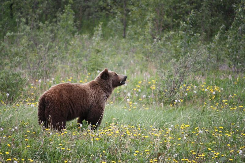 Several lawsuits were filed Friday against the U.S. government's decision to lift protections for grizzly bears in the Yellowstone National Park area.