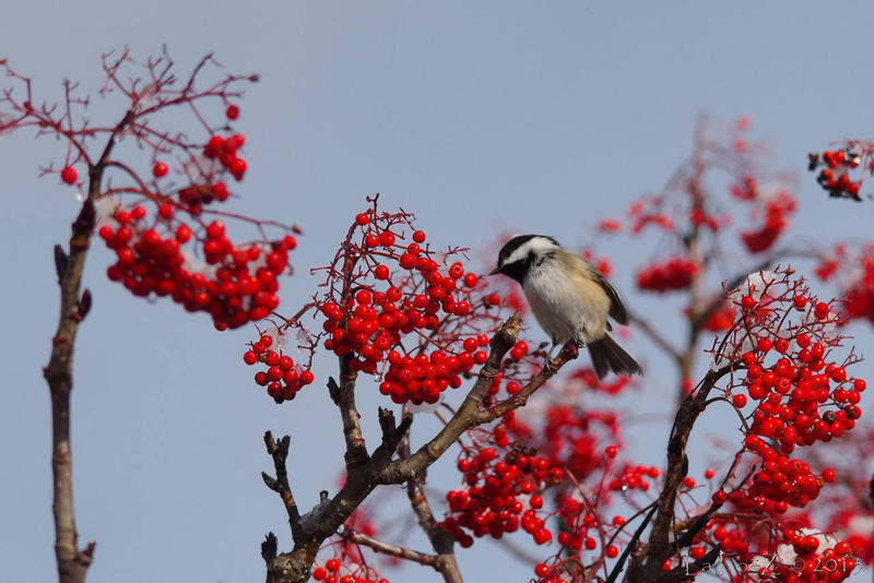 A black-capped chickadee feeds on mountain ash berries.