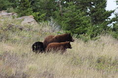 Black bears on the Montana-Alberta border